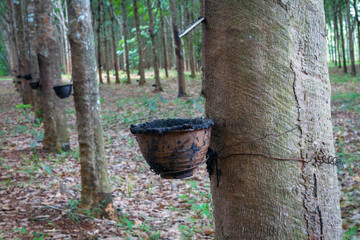 Row of para rubber tree