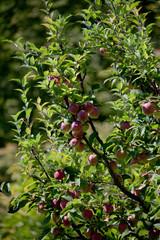 Obraz jabłko_04 - fototapety do salonu
