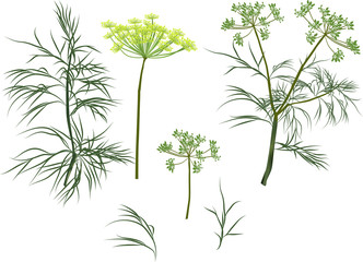 green dill plants collection isolated on white