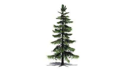 Alaska Cedar tree - separated on white background