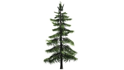 Alaska Cedar tree - separated on white background