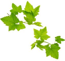Green cur