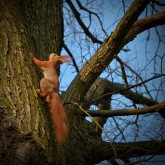 Tuinposter Eekhoorn wspinająca się wiewiórka