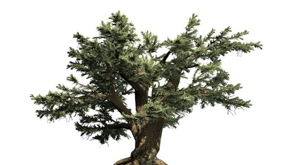 Cedar of Lebanon tree - separated on white background
