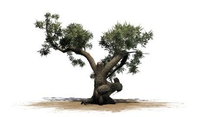 Jeffrey Pine tree - separated on white background