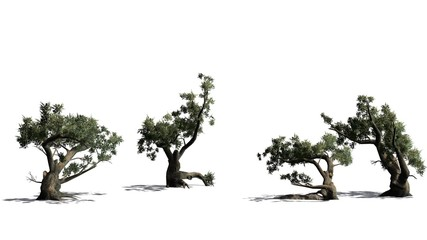 Jeffrey Pine tree cluster - separated on white background