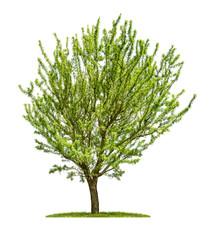 Mandelbaum vor einem weißen Hintergrund