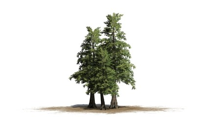 Western red Cedar tree cluster - separated on white background
