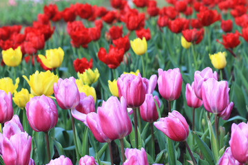 Tulips,many beautiful flowers blooming in the garden
