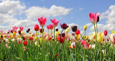 Fototapete - Tulpenfeld in leuchtenden Farben, Blumen selber schneiden