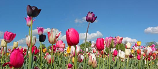 Fototapete - bunte Tulpen vor blauem Himmel