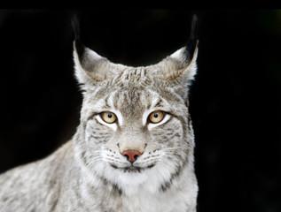bobcat portrait on black