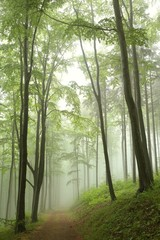 Foto op Aluminium Bossen Trail through the beech forest on a foggy, rainy morning