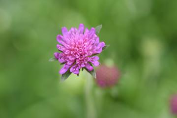 fiore di campo viola rosa fiori macro