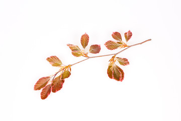 Pink beech branch isolated
