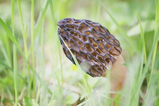 first morel mushrooms