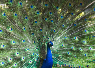A beautiful peacock with colorful feathers.