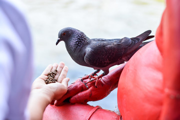 Hand feeding the Feral pigeon