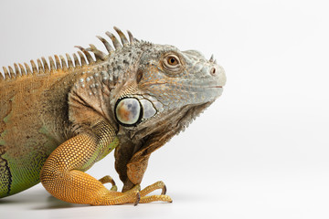 Closeup Green Iguana on White Background