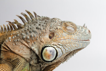 Closeup Sleeping Green Iguana on White Background