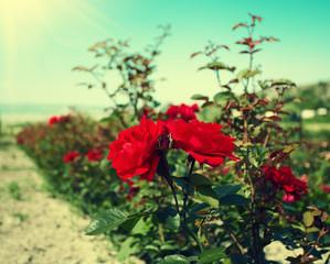 Vintage roses plantation