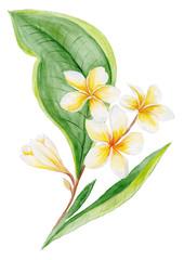 Plumeria Watercolor Plant