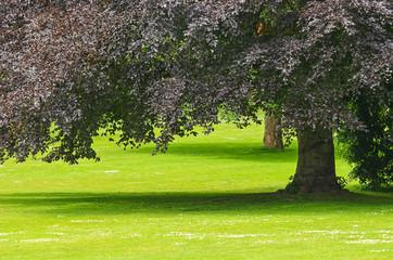 Buche im Park Stille und Heilung