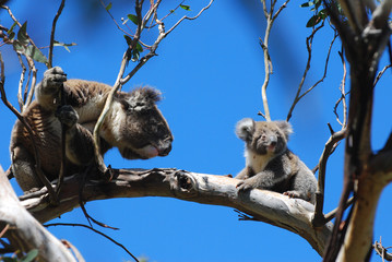 a koala bear mother and baby blue sky great ocean road wildlife australia tree