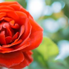 orange rose on the edge
