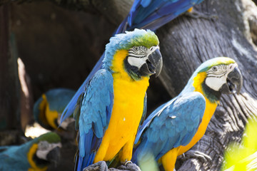 Poster Yellow and blue macaw, colorful bird