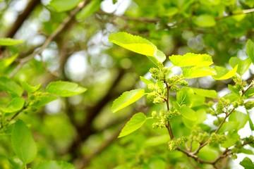 Веточка с зелёными ягодами тутовника