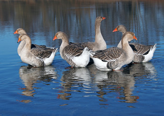Group of domestic geese on a lake, grown by a natural method