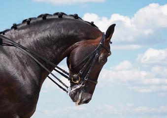 Portrait of dressage bay horse on nature background