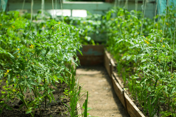 Greenhouses with young tomato
