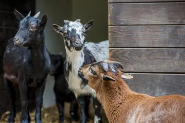 trzy kozy