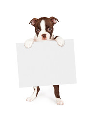Wall Mural - seven week old Boston Terrier puppy