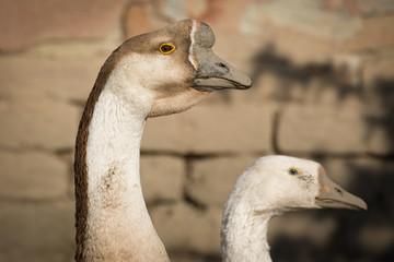Swan goose , close up head shot