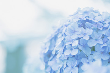 Printed kitchen splashbacks Hydrangea hydrangea flower
