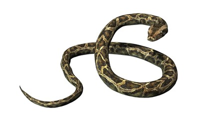 Python snake - separated on white background