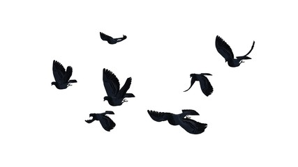 small group of pigeons - isolated on white BG