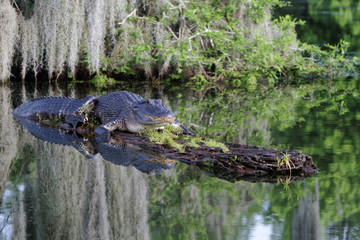 Alligator dans les Bayous de Louisiane