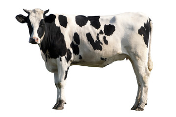 Photo sur Aluminium Vache cow isolated