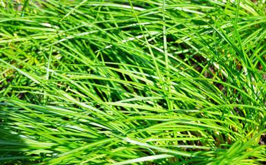 stalks of green grass background