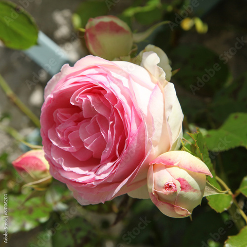 my favorite flower rose essay The flower is god's finest workmanship in the world essay on flower article shared by in india we see the flowers like lily, lotus, rose, marigold.