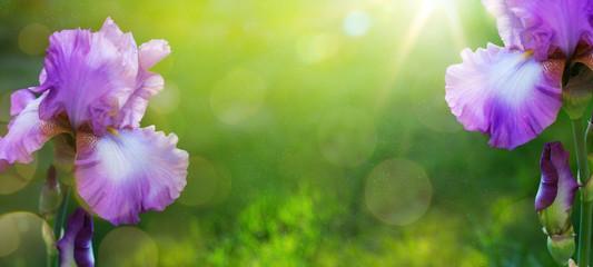 Foto op Plexiglas Iris art Summer or spring beautiful garden background with iris flowe