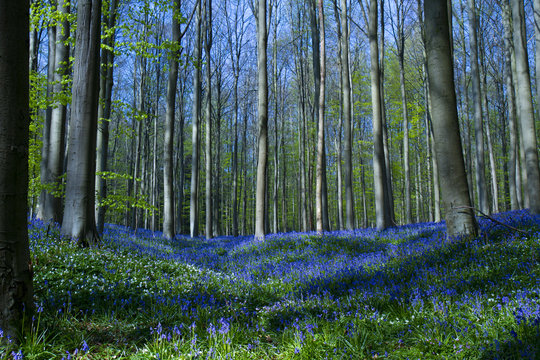 Bluebell flowers in Halle Forest, a mystical forest in Belgium.