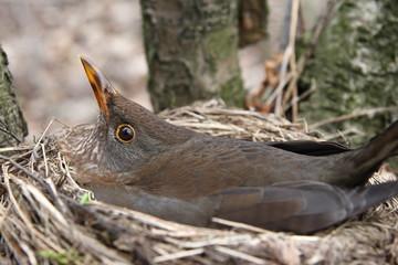 Fototapeta Ptak w gnieździe