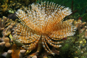 Sea life Magnificent Feather Duster worm