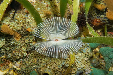 Split-crown feather duster worm Anamobaea oerstedi