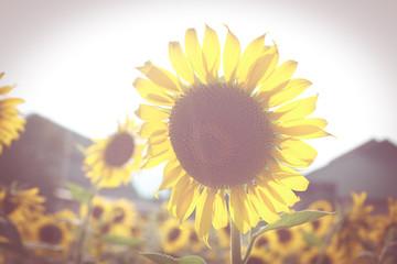 sunflowers on vintage style